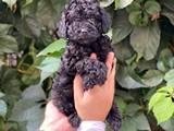 Siyah black dişi 5 toy poodle yavrumuz