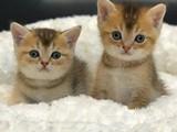 Golden shaded british shorthair yavrularımız