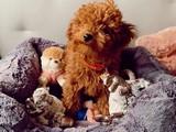 Her Hafta Güncellenen Safkan Red Brown Toy Poodle