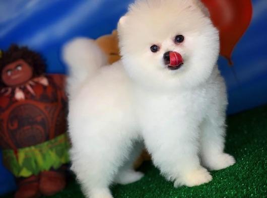 Ayı Surat yakışıklı Pomeranian boo oğlumuz ÇAPKIN