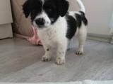 2 aylık maltese terrier