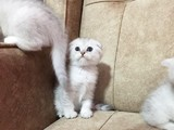 Safkan ırk garantili Scottish Fold Shorthair silver shaded