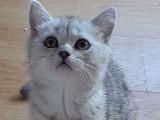 Boncuk Silver British Shorthair Yavrumuz