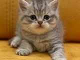 Sevimli blue tabby british shorthair yavrumuz