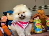 Teddy bear safkan Pomeranian boo yavrumuz