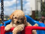 Show kalite Toy Poodle yavrular