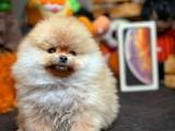 Miniboy pasaportlu mikrochipli Pomeranian boo