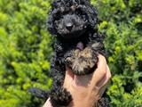 Black phantom toy poodle erkek yavrumuz