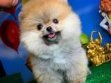 Muhteşem surat yapısına sahip Pomeranian bebekleri