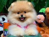 Bir Avuç Mutluluk TeddyBear Pomeranian Boo Yavru