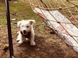 4 aylık Düz Terrier