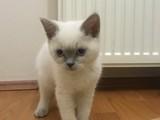 British ve Scottish 2 Aylık Yavru Kediler