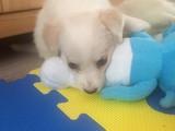Terrier kırması