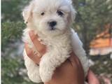 Mini maltese terrier yavrularımız