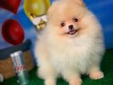 Evde Bakıma En Uygun Irk Pomeranian Boo Yavru