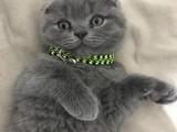 Kendi kedimin yavruları scotish fold