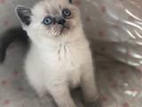 Blue point beyaz british shorthair yavrumuz