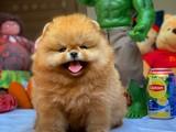 Şampiyon Anneden Yarışma Düzeyi Pomeranian Boo