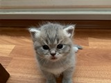 Scottish Fold ve Scottish Straight kedi yavruları