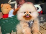 Irkının en güzel Yüz yapısına sahip Pomeranian yavruları