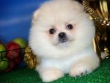 Muhteşem güzellikte Pomeranian boo kızımız PAMUK