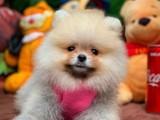 Yeni gelen Pomeranian yavrular