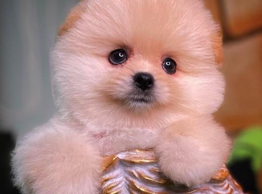 Irk ve Sağlık Garantili Pomeranian Yavrularımızdan Carla
