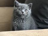 British shorthair blue bebeğimiz