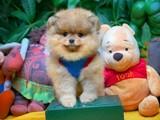Yarışma düzeyi Teddybear Pomeranian Boo yavrularımız