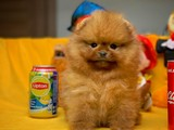 Pomeranian boo wc eğitimli teddy surat
