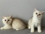 Silver shaded british shorthair kardeşler