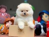 Safkan Irk Garantili Ayıcık Surat T-Cup Boy Pomeranian Boo