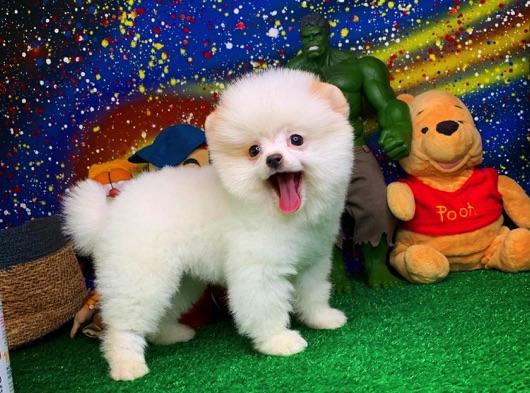 Birbirinden güzel Pomeranian Boo yavrularımız