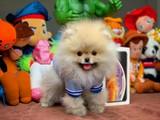 En İyi 3 Aylık PomeranianBoo Yavrumuz
