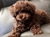 Irkın en güzel rengi chocalate red toy poodle