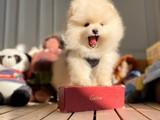 Muhteşem Teddybear Minyatür Boo yavrularımız için iletişime geçin