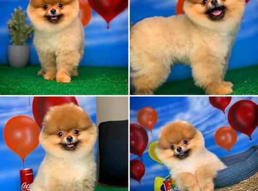 Yarışma Düzeyi PomeranianBoo Yavrumuz