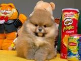Secereli teddy bear pomeranian boo yavrularımız
