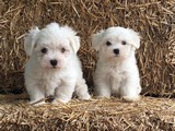 Maltes terier yavrularımız ırk ve sağlık garantili