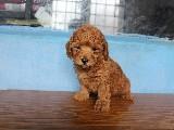 Toy Poodle red brown orjinal safkan saglik garantili