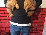 Orijinal ırk garantili poodle yavrular