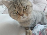 British kedi