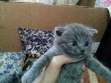 Ankara schottish fold biritsh kedi satışı