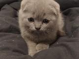 2 aylık scottish yavrumu satiyorum