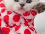 Anne British Shorthair Tabby Brown Baba Scotish Fold Blue den Beyaz Mavi Gözlü Erkek Yavru 1.5 Aylik