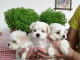 Orijinal ırk garantili maltese terrier yavruları
