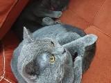 1.5 yaş safkan british shorthair