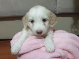 Maltiese terrier yavru