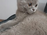 SCOTTISH FOLD nadir renk(LİLAC)