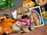 2.5 Aylık MiniBoy PomeranianBoo Kızımız